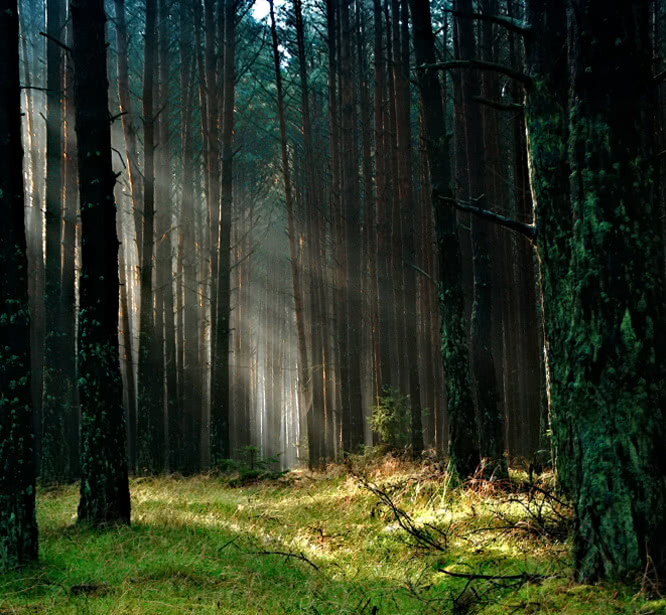 Sunbeams through tall trees in a forest
