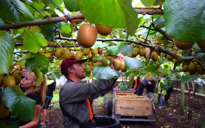 Kiwifruit Picking Work NZ_optimized.jpg